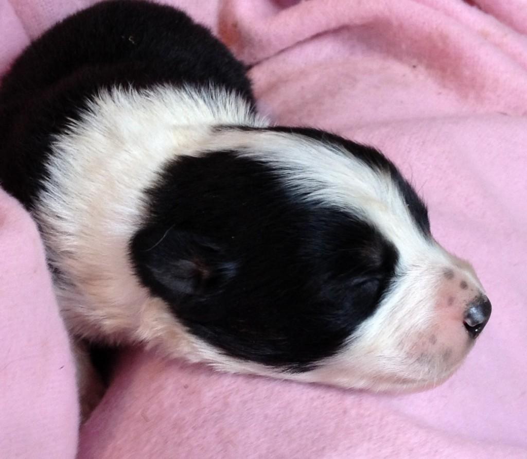Black Tri puppy