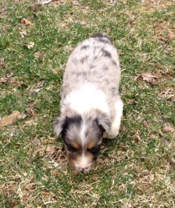 Aussie blue merle female pup