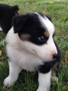 Eliza Aussie pup Linden TN